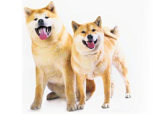 image1 - Google Cloud AutoML Vision 輕鬆分辨秋田和柴犬!快來體驗最新的機器學習工具吧